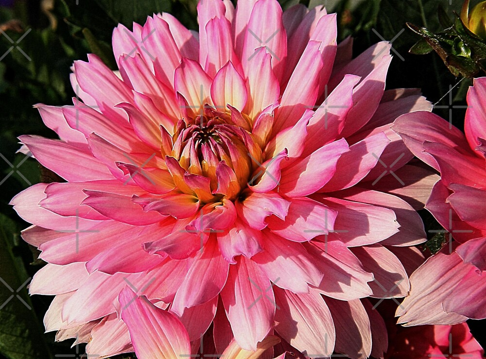 Pink Dahlia by Vickie Emms