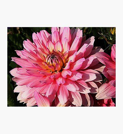 Pink Dahlia Photographic Print