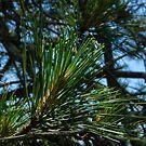 Pine by DevinVShop