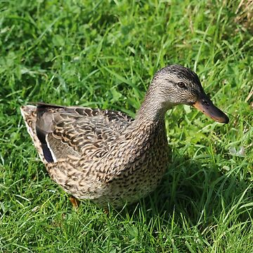 Duck in the Grass by kalaryder