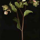 Brown-Stemmed Hellebore by Barbara Wyeth