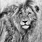 INTENSITY - THE LION - panthera leo - LEEU by Magriet Meintjes