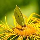 Butterfly on a Bright Yellow Flower in Summer by Jon Shore