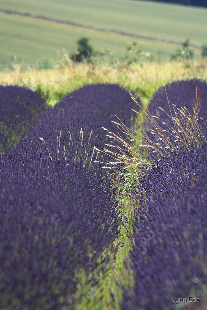 Lavender with grass by Lynn Ede