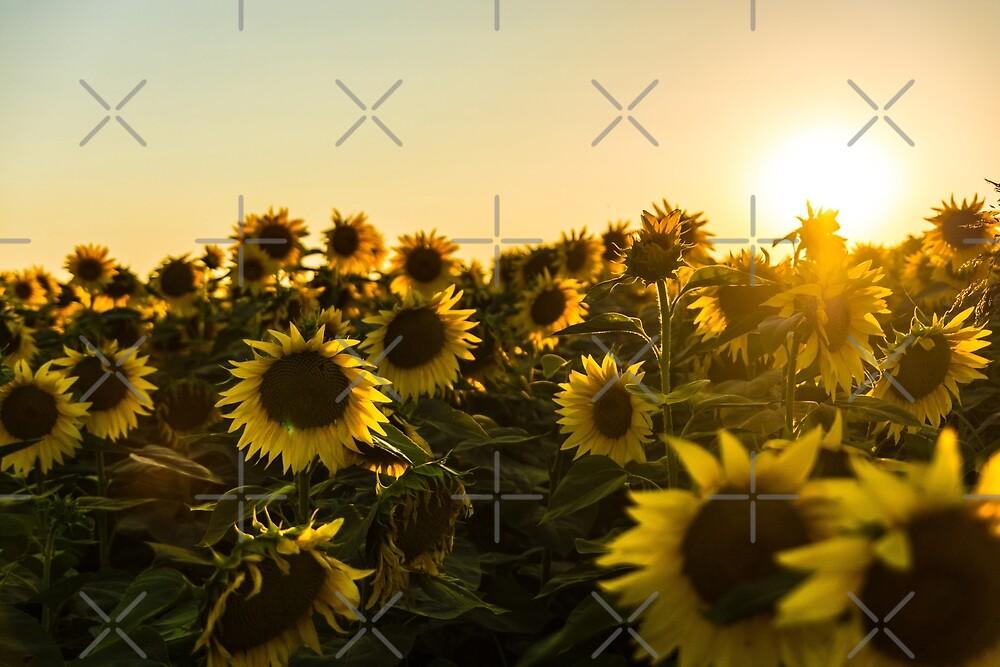 Sunflowers sun flower field with photo filter vintage effect yellow sunflowers sun flower field with photo filter vintage effect yellow flowers organic landscape picture by iresist mightylinksfo