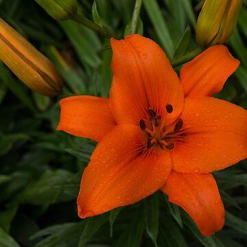 Hot Orange Lily  by GeorgiaM