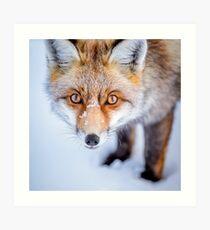 Lámina artística Curioso Fox