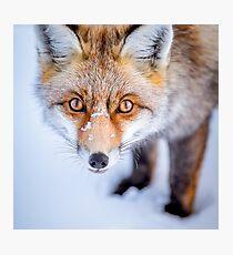 Lámina fotográfica Curioso Fox