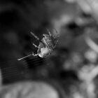 Garden Spider by Ollie de Brett