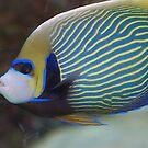 Emperor angelfish II by loiteke