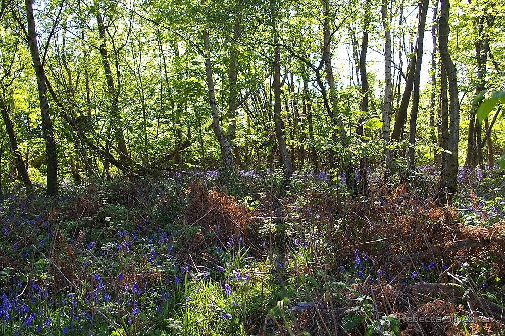 Bluebell Woods I by Rebecca Silverman