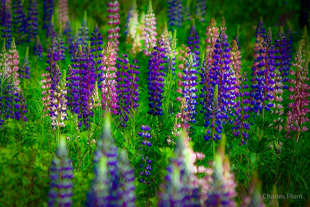 Lupins by Charles Plant