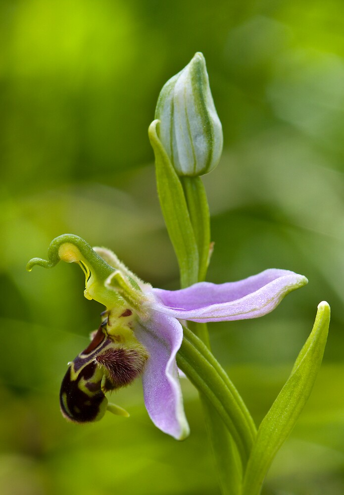 Bee Orchid (Ophrys apifera)  by Steve Chilton