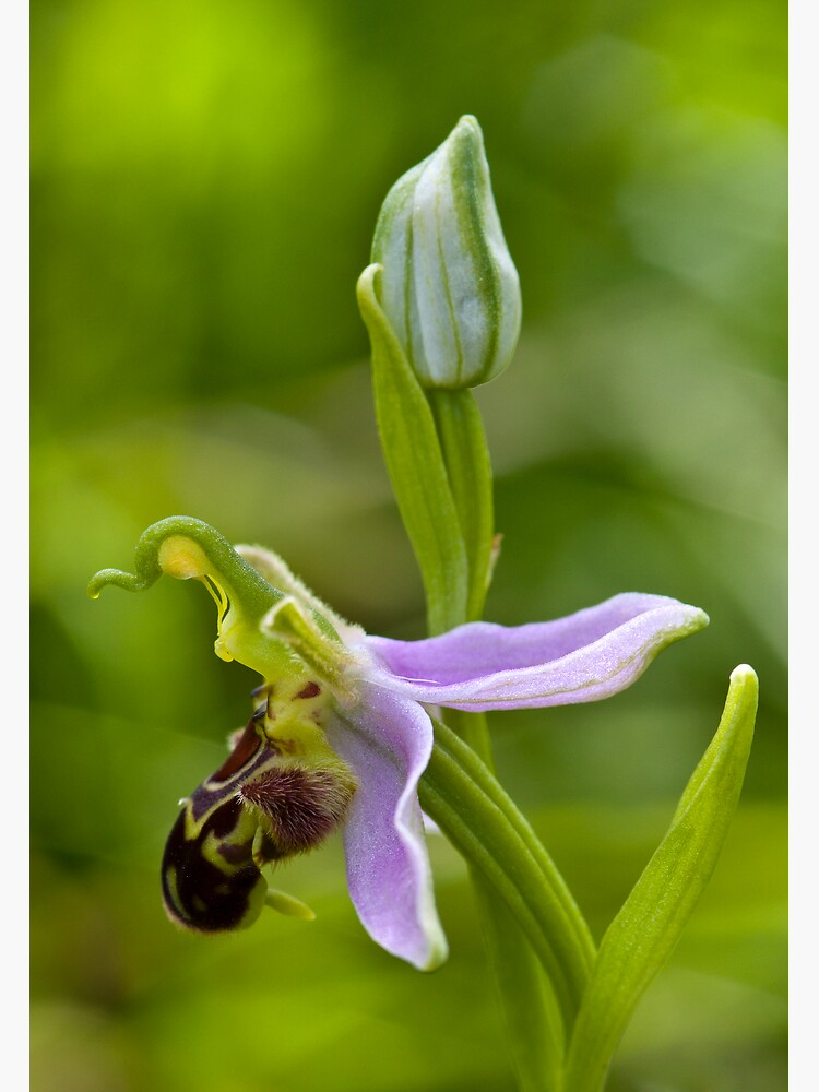 Bee Orchid (Ophrys apifera)  by SteveChilton