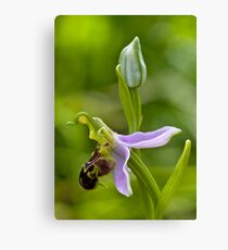 Bee Orchid (Ophrys apifera)  Canvas Print