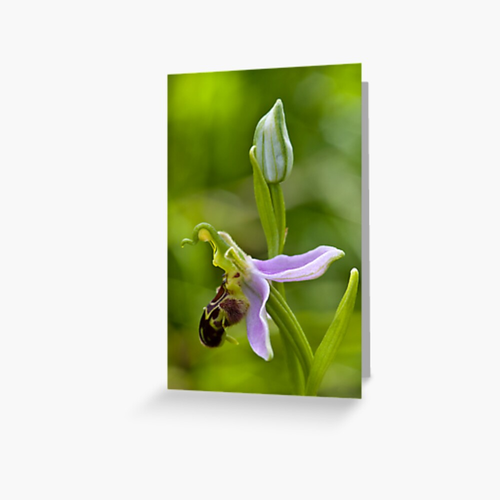Bee Orchid (Ophrys apifera)  Greeting Card
