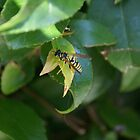 Resting Wasp by photoclimber
