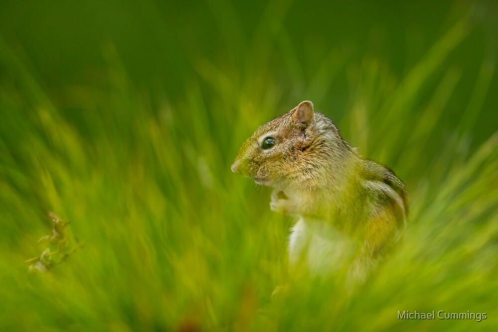 Chipmunk In Grass by Michael Cummings