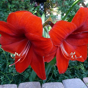 AMARYLLIS by umpa1