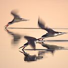 Black Skimmers by David Orias