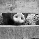 Snout in Black & White by Hunniebee