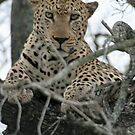 Kruger Leopard  by Rebecca Conroy