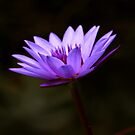 WaterLily by AnnDixon