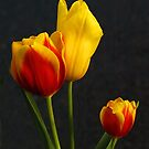 Tulips of orange and yellow by Bev Pascoe