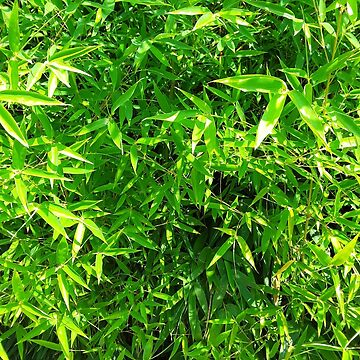 Bamboo by Candice68