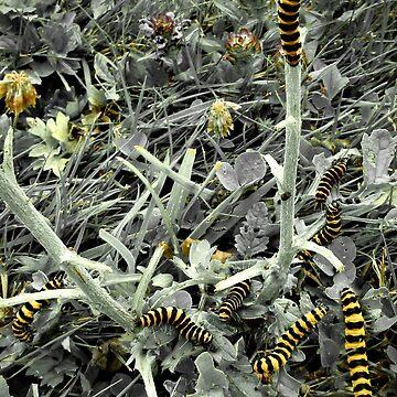 Cinnabar moth caterpillars by missmoneypenny