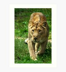 Kalinga the Asiatic Lioness Art Print