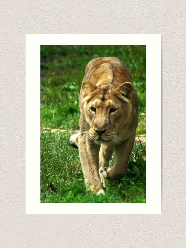 Alternate view of Kalinga the Asiatic Lioness Art Print