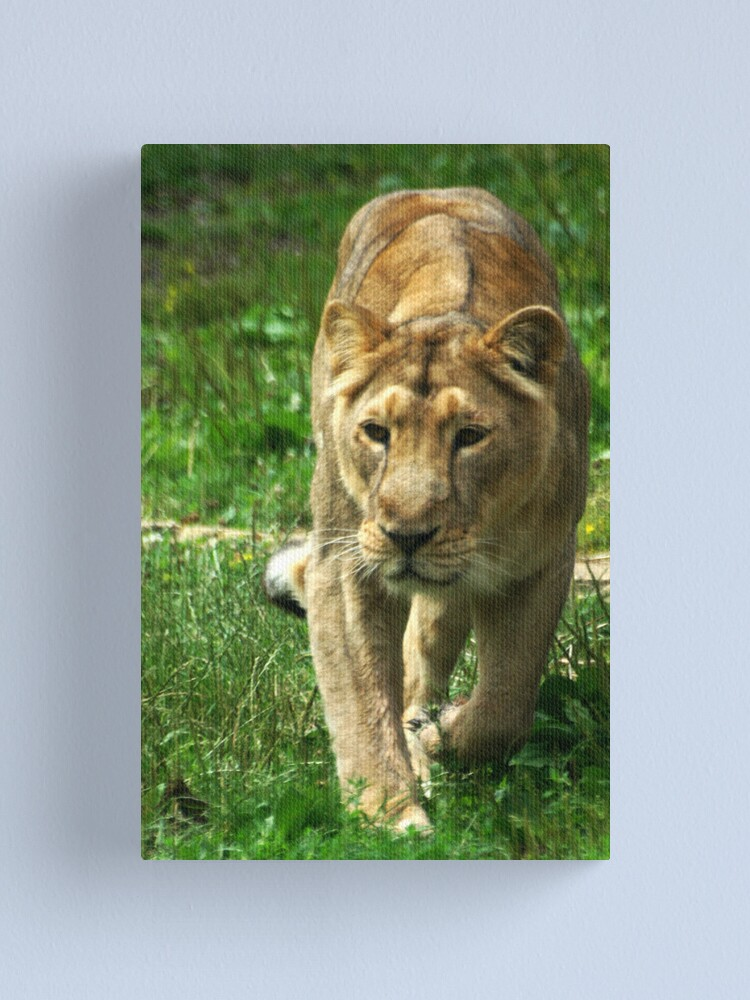 Alternate view of Kalinga the Asiatic Lioness Canvas Print