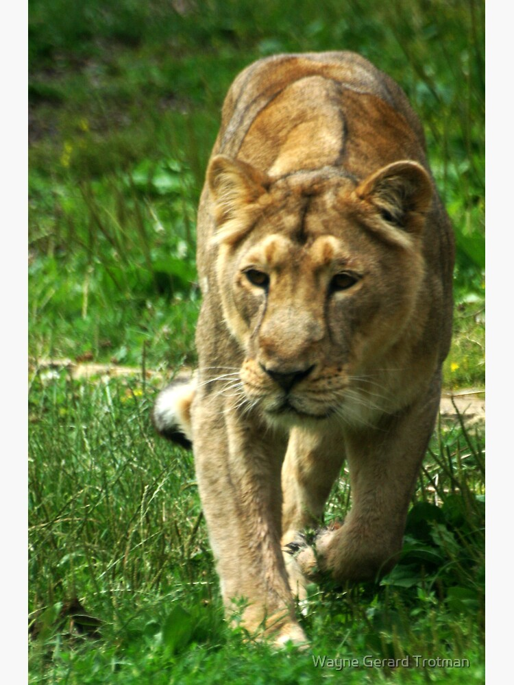 Kalinga the Asiatic Lioness by redmoondragon
