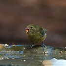 Female Painted Bunting by TJ Baccari Photography
