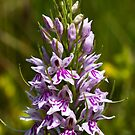 Common Spotted-orchid (Dactylorhiza fuchsii) by Steve Chilton