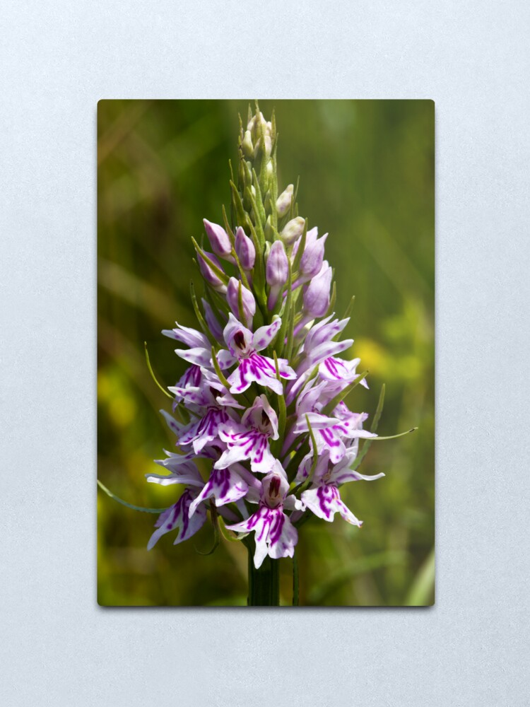 Alternate view of Common Spotted-orchid (Dactylorhiza fuchsii) Metal Print