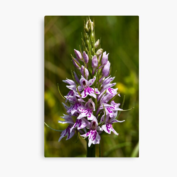 Common Spotted-orchid (Dactylorhiza fuchsii) Canvas Print