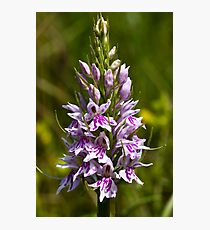 Common Spotted-orchid (Dactylorhiza fuchsii) Photographic Print