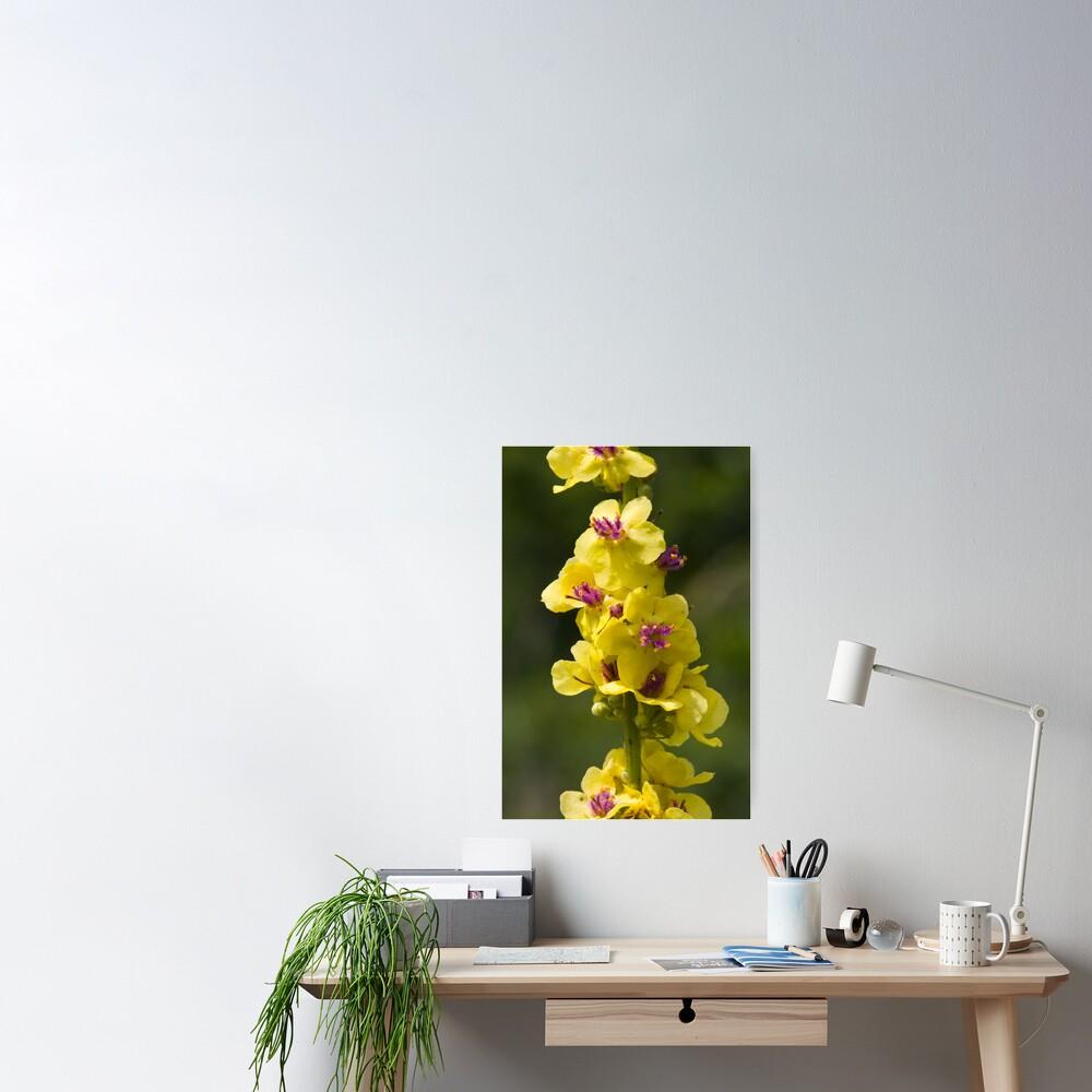 Dark Mullein (Verbascum nigrum) Poster