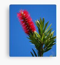 red bottle brush  Canvas Print