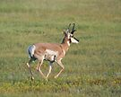 North American Pronghorn (Antelope) by Arla M. Ruggles