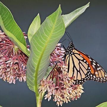 The Monarch Butterflies are Back! by hummingbirds