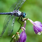 dragonfly - series 2 by searchlight