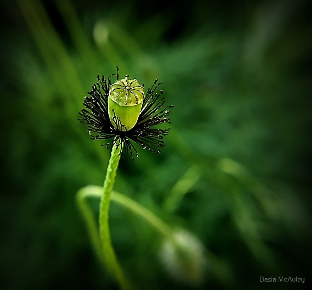 Poppy by Basia McAuley