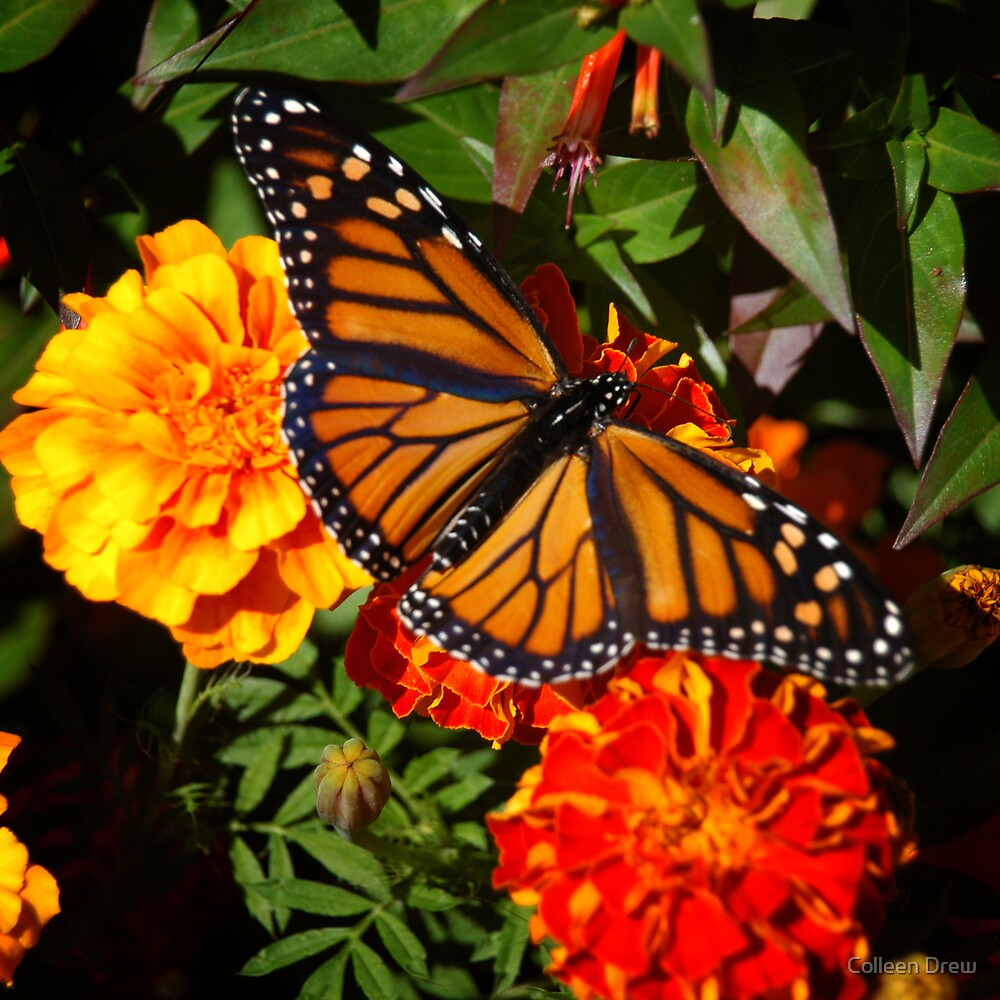 Monarch on Marigolds by Colleen Drew