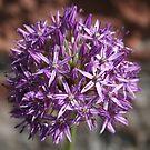 Allium by Teuchter