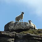 Sheep on a rock by derbyshireduck
