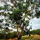 Large Tree overlooking Winery, Gordon, Vic. Australia by EdsMum