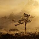 15.7.2018: Pine tree in the Morning Mist by Petri Volanen